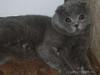 Вязка . Голубой шотландский вислоухий кот