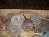 Котятки скоттиш фолд и страйт